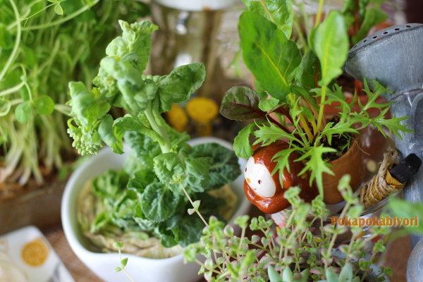 伸びすぎた リボベジ白菜の 行く末