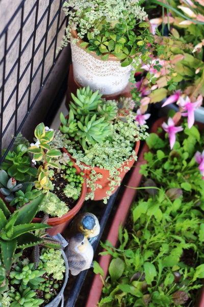 多肉植物寄せ植え(1か月半成長)Before→After