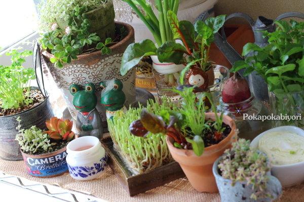 リボベジ=リボーン・ベジタブル「再生野菜」と インドアガーデンコーナー