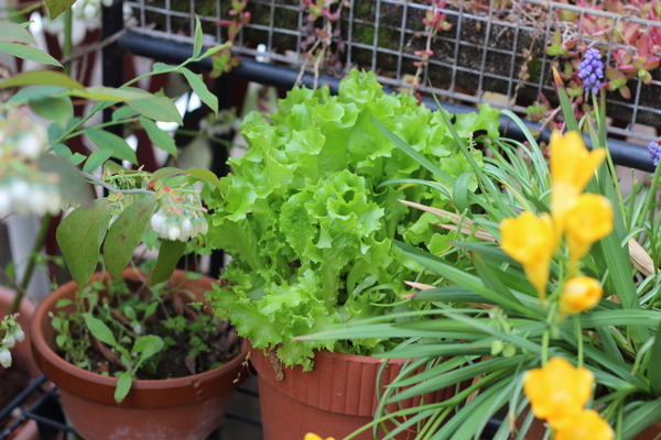 庭で育てているレタス