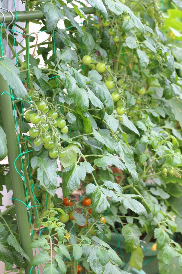 緑のカーテンでミニトマトを育てる