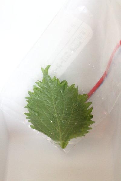 大葉が長持ちする保存方法 /冷蔵庫のお掃除