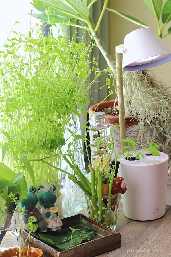 BRUNO水耕栽培キットSTANDBYGREENと豆苗の水耕栽培・リボベジコーナー