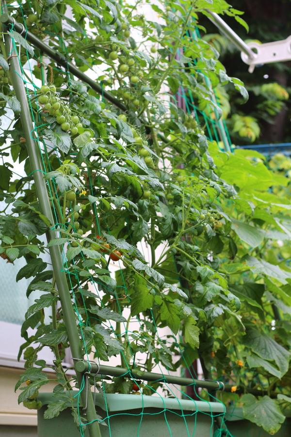ミニトマトときゅうりを育てている緑のカーテン