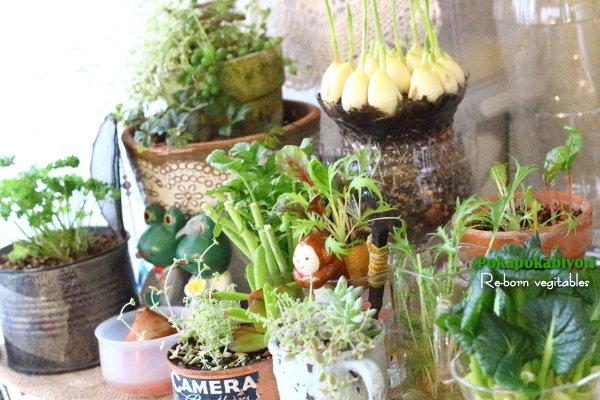 買ってきた【にんにく】を ペットボトルで作った植木鉢に植えてみました・・・