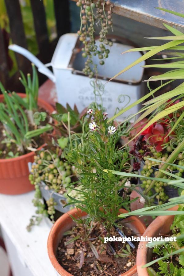 せせこましい庭の近況報告|ナイトフロックス・ラナンキュラス・パクチーなど