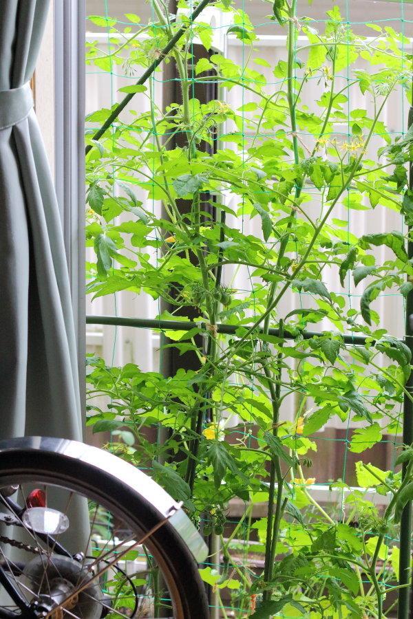 緑のカーテン活用術:今年はミニトマト&きゅうり