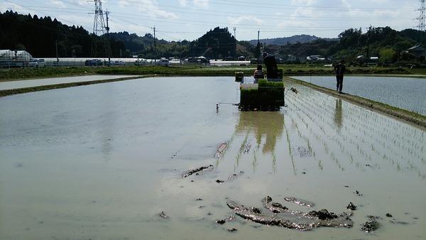 宮崎コシヒカリの田植えDAY