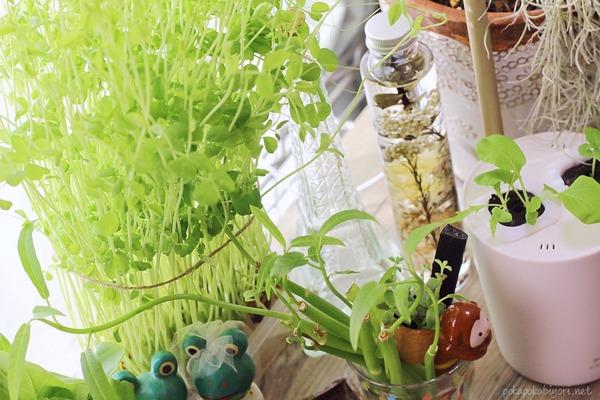 水耕栽培で育てた豆苗の冷しゃぶサラダレシピ