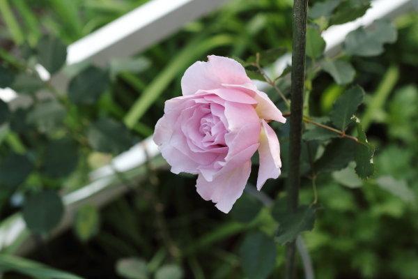 薔薇ニューウェーブ、スナップエンドウ、多肉植物の刺し芽etc寒くて放置気味のガーデニング