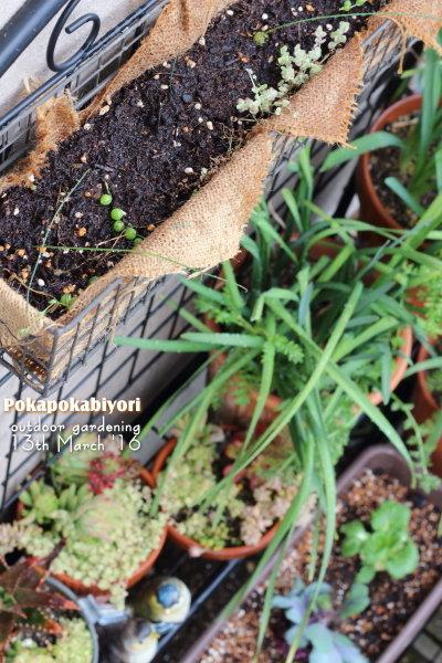 80cmワイヤーラックで多肉植物の刺し芽に挑戦 & リボベジ苗を土に植え付け(季節早すぎるけど)