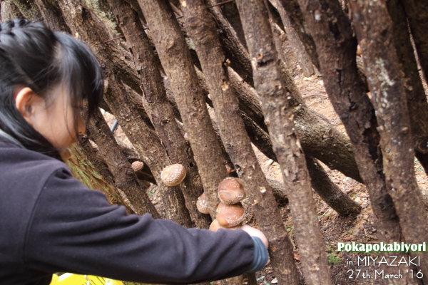 宮崎県産原木乾しいたけ~ほだ場取材
