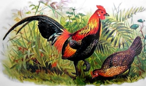 Red_junglefowl_hm