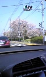 桜が満開〜