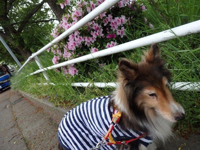 ポロちゃん朝散歩