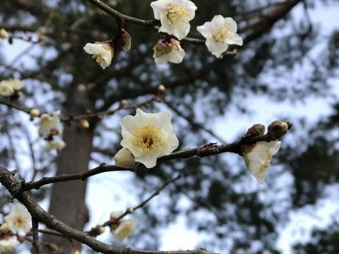 17.2.22おほもとの梅の花