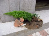 高島屋_東館_植木の鉢が割れ倒れていた