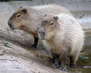 297px-Bristol_zoo_capybara_arp