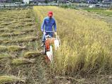 稲刈り2nd 古代米・黒・赤・香・緑米