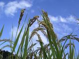 稲刈りPart�