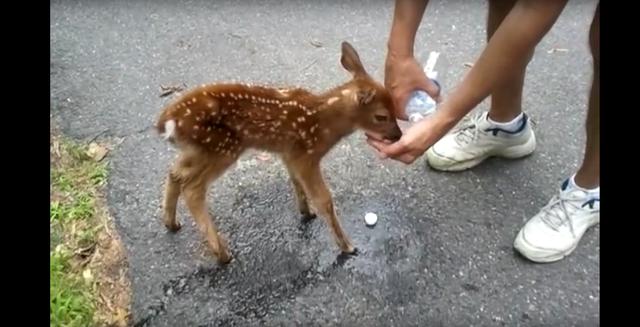 『もっとお水ちょうだい~!』人に甘えてくるシカの赤ちゃんが可愛すぎる♡