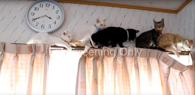 カーテンのレールの上で大渋滞!行き場を失った猫ちゃんがとった行動(=^・^=)