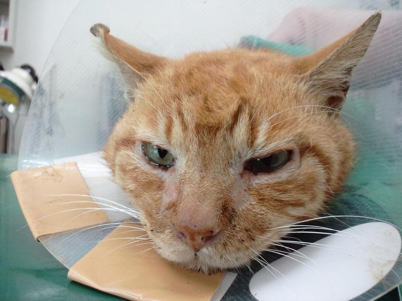 白血病 治る: 猫エイズ FIV 陽性(+)|~ 地域猫に理解を ~
