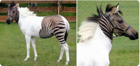 a411_zebroid
