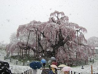 120418雪桜