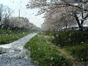 140503桜吹雪