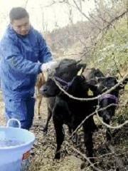 飯舘村の子牛が山梨へ