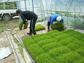 もち米の田植え