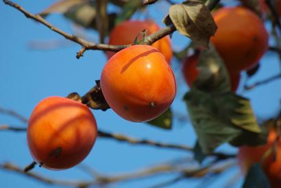 もったいない柿の実