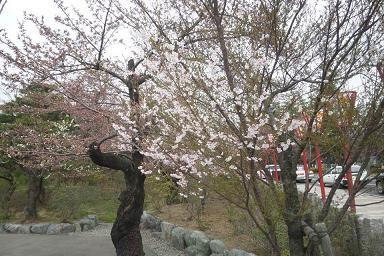 2年前の「雪桜」