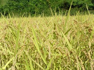 120925魚沼の米