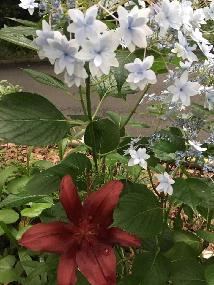 赤百合白花