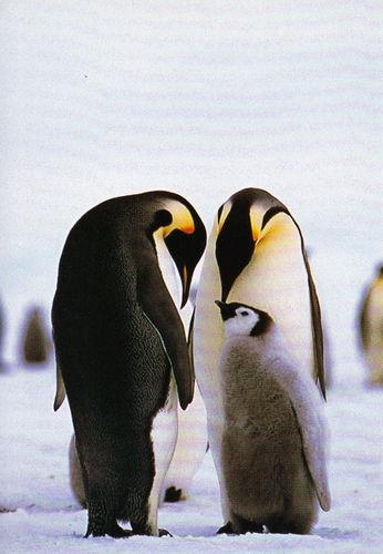20130712card 皇帝ペンギンの親子のカードです。あなたの母国語で何か書いて教えて? と