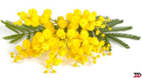 mimosa vicino