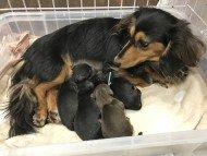 dachshund01173-190x143