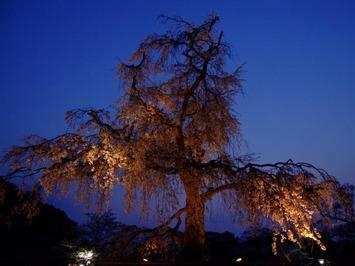 円山公園-パワースポット京都 (2)
