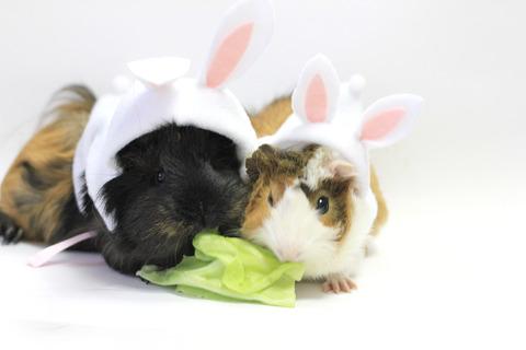 モルモットがウサギに変身!? ウサ服を作ってみた。