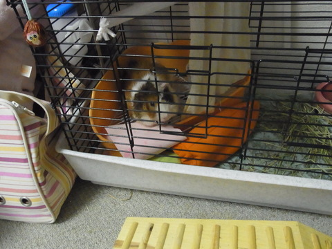 枕の位置に異様なこだわりを持つモルモットの奇妙な行動