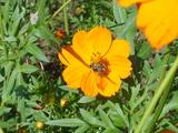 小金井公園 蜂 花