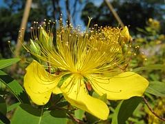 幸せの黄色い花♪