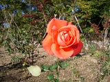 芝公園 4 薔薇