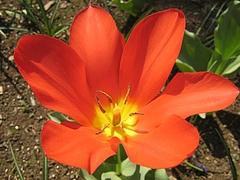 Tulipa.