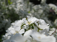Spiraea cantoniensis.