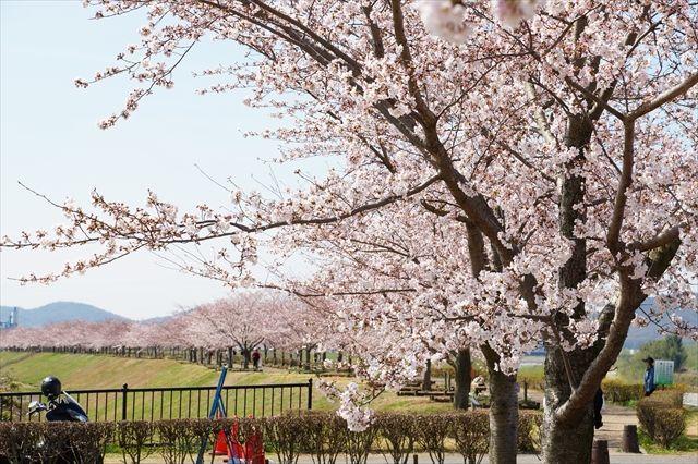 20160402_桜ツー (285)_R