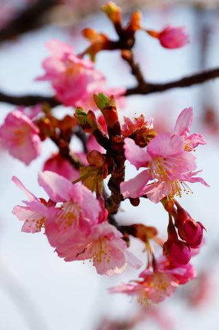 20160305_桜と梅と (17)