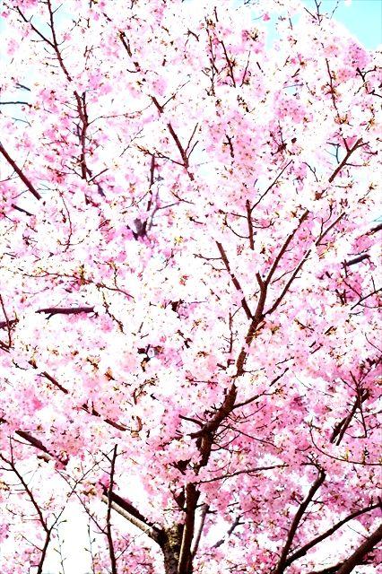 20160402_桜ツー (35)_R
